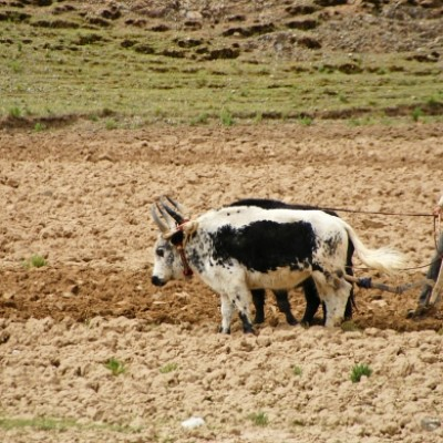 Farmer ploughing his field