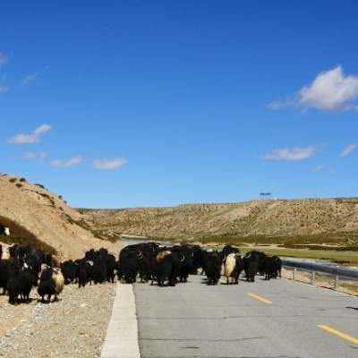 Yaks on the road
